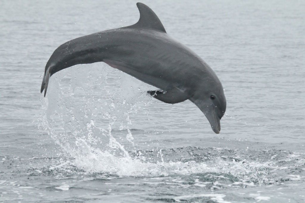 Using natural marks on dolphin dorsal fins to estimate population size