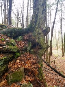 A side view of the ledge tree. Shows how large the roots are that hold the tree to the rock.