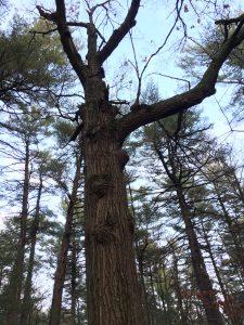 Oak Tree!
