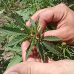 Industrial Hemp updates