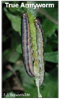 Armyworm Alert!