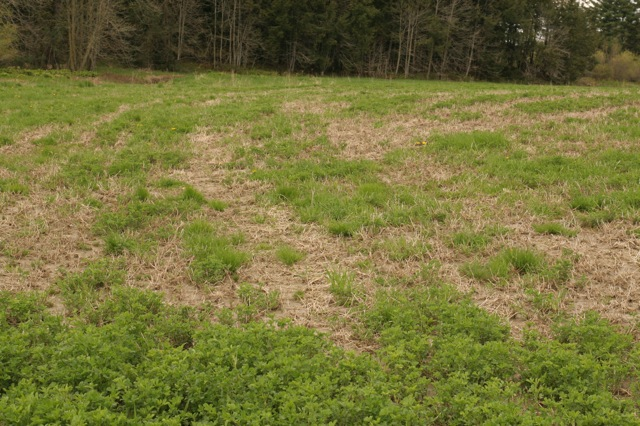 Evaluating and Managing Alfalfa Stands for Winter Injury