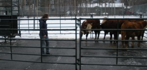 A low-stress livestock handling student practices what she's just learned.