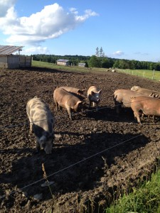 Pastured pigs at Snug Valley Farm