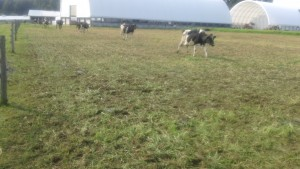 Cows returning from milk parlor to a new strip