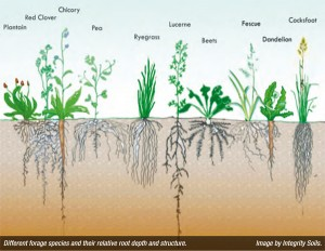 Root depth and structure of forage species