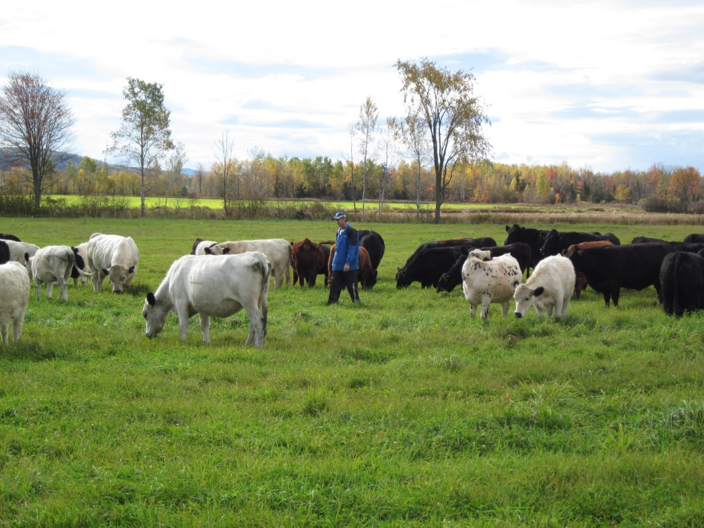 Socialize With Cows to Promote Soil Fertility