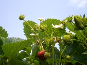 strawberry flowers and new fruit