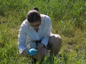 UVM PSS graduate student Lindsey Ruhl takes a break from finals to sample her research plots at the Intervale.
