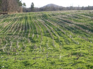 GREEN COVER...This Vermont field is looking good with a green cover crop in December.