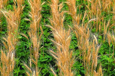 Clover frost seeded into wheat.