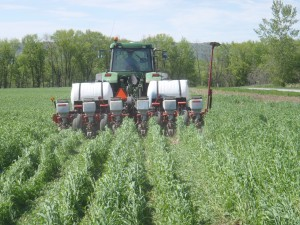 Planting Green:  no-till planting corn into a standing crop of winter rye