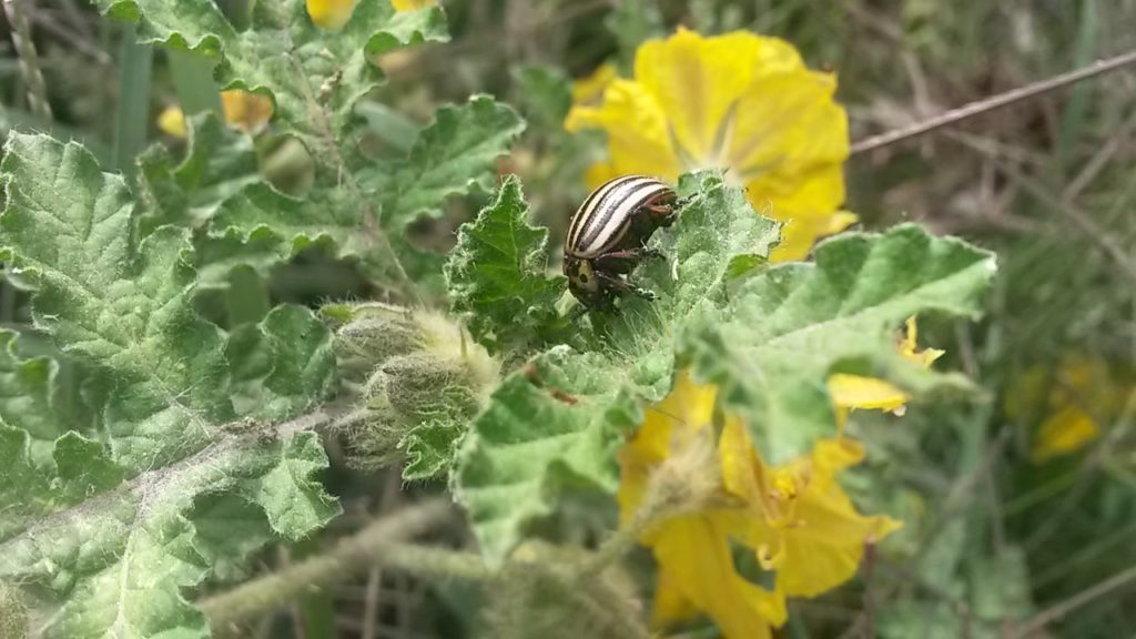 The Colorado potato beetle genome published in Scientific Reports