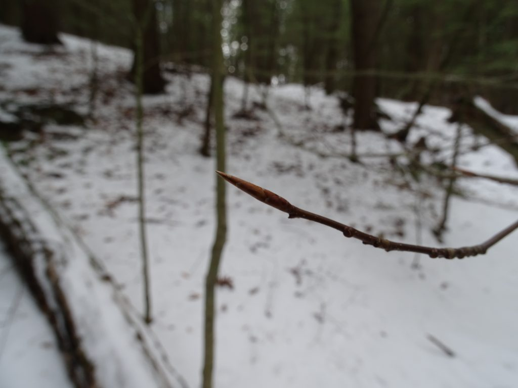 Deciduous Twigs in East Woods